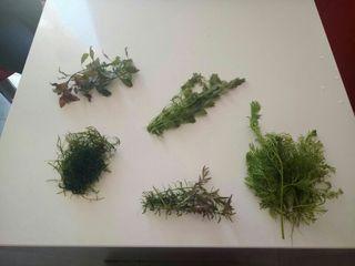 Podas de plantas acuaticas todas 10€