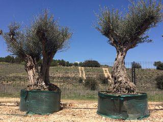 Venta olivos