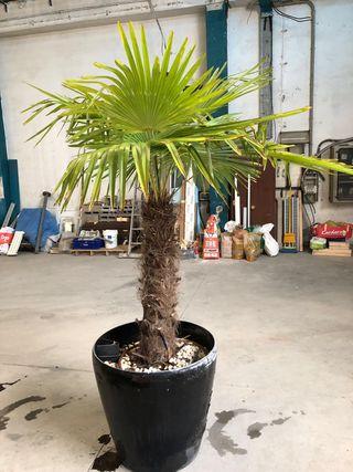Se venden palmeras