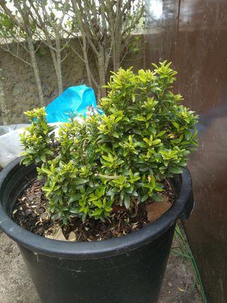 Planta Boj Común