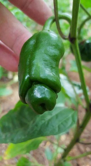 planta de pimiento picante