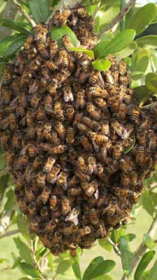 se retiran enjambres, colmenas de abejas