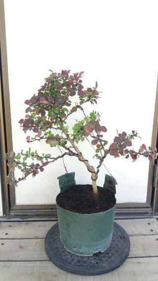 Vendo bonsais de segunda mano por 20 en playa granada for Bonsai vendo