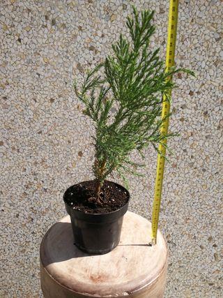 planta sequoia