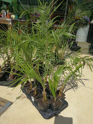 planta de palmera