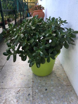 Planta de ARBOL DE JADE