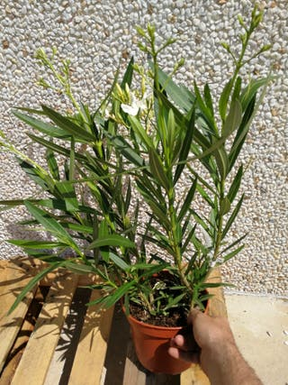 adelfas planta de 60 cm