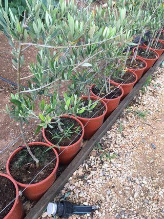 Plantones de olivo