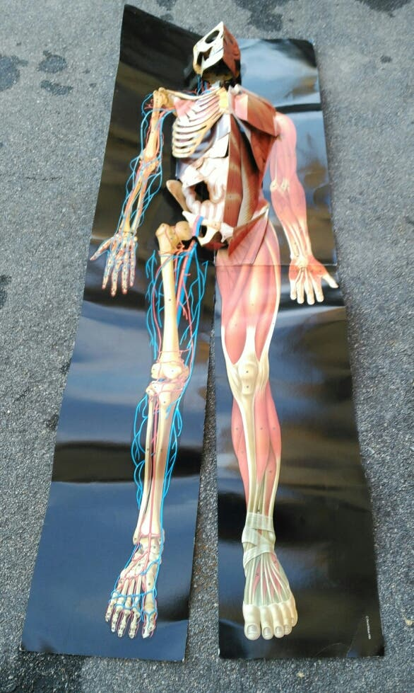 Desplegable del cuerpo humano en tamaño natural