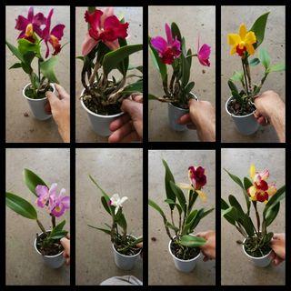 orquídeas cattleya.
