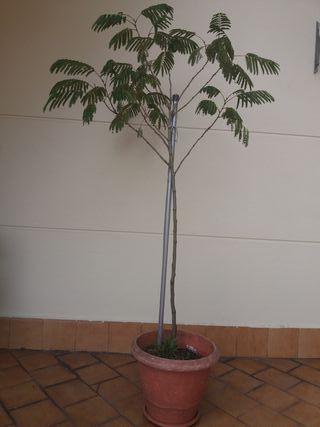 Planta arbol Acacia albicea 1.60cm