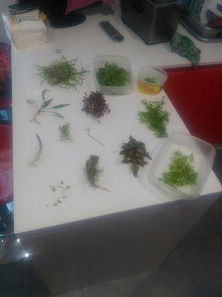 Lote de Podas de plantas para acuario