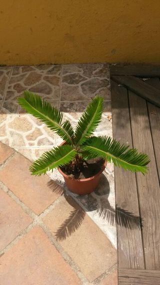 palmeras pequeñas