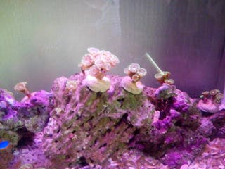 calaustrea acuario decoracion