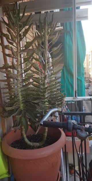 plantas en riesgo de extinción Kalanchoe