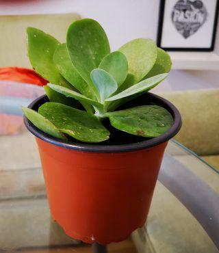 planta casa. kalanchoe thyrsiflora