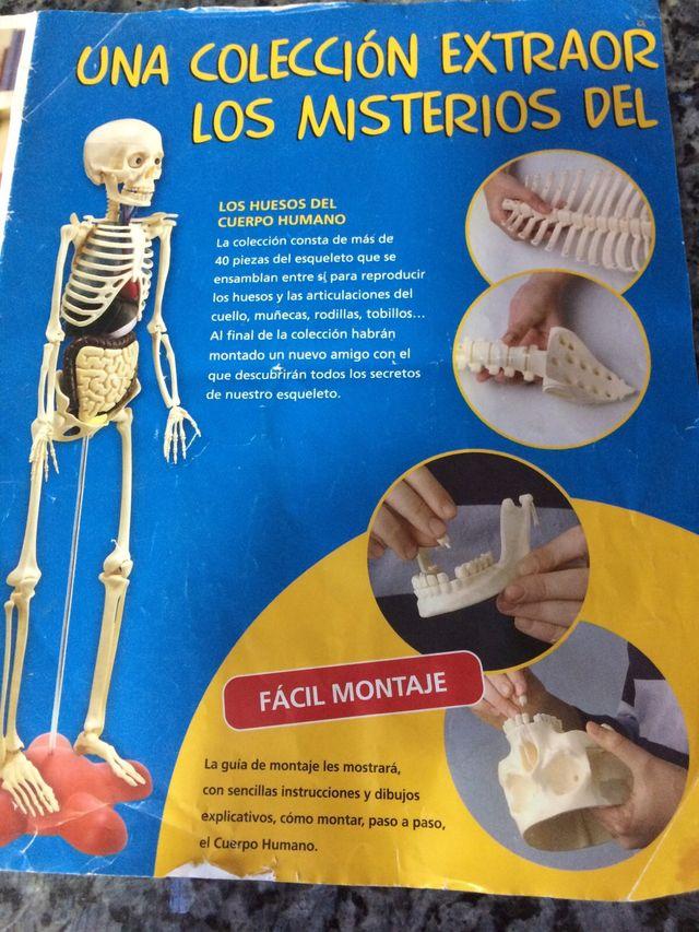 Esqueleto el cuerpo humano de segunda mano por 150 € en Madrid en ...