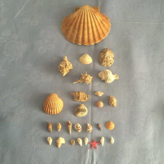 Lote de conchas