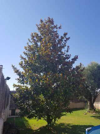 Arbol magnolio 8 metros.