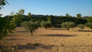 Vendo parcelas con olivos muy cerca de Pinoso