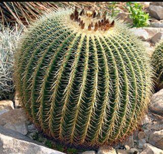 Plantas jardín . Cactus de más de 10años