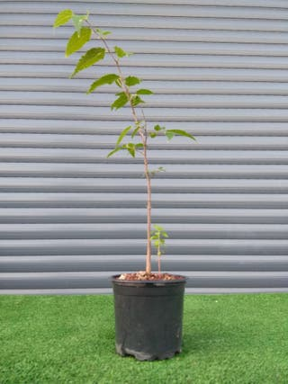Plantón para bonsái de Almez (Celtis australis)
