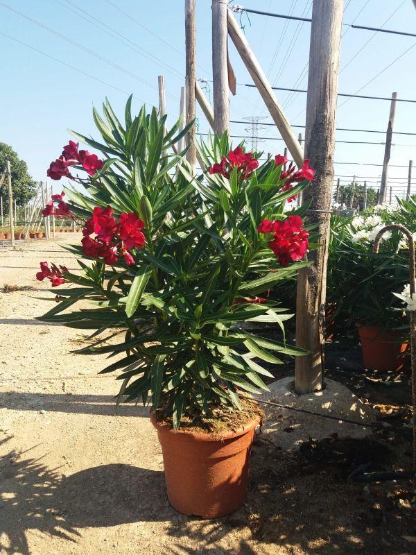 Resultado de imagen para Nerium oleander