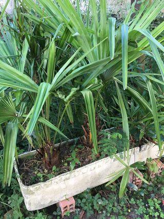 Macetas con dos palmeras
