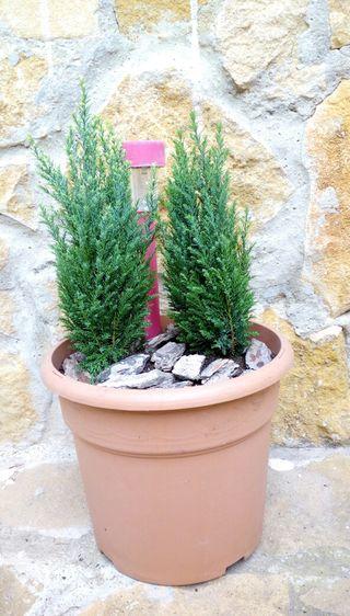 Planta en maceta (coniferas)