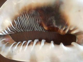 Boca de gran caracola natural