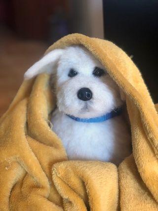 Marley, perro, Bichón maltés hecho con lana