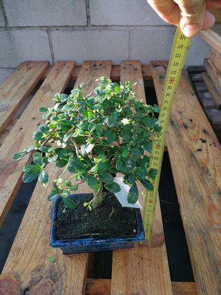 variedad de bonsais