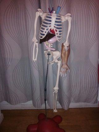 Esqueleto del cuerpo humano.
