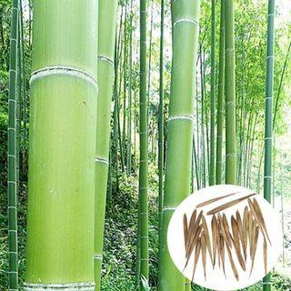semillas de bambú