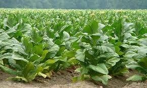 semillas de tabaco rubio