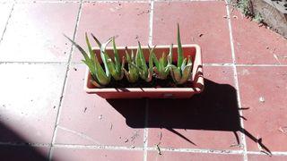 Jardinera con aloes