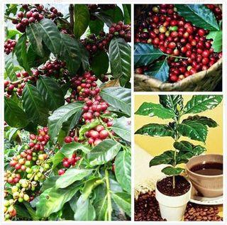 semillas de café Arabica