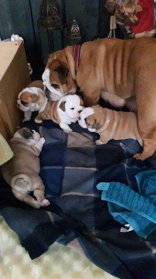 magnifique chiots bulldog a donner pour adoption
