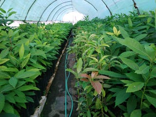 aguacate mango chirimoyas pistachos