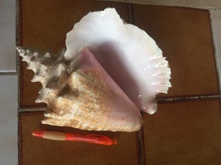 Caracola marina grande