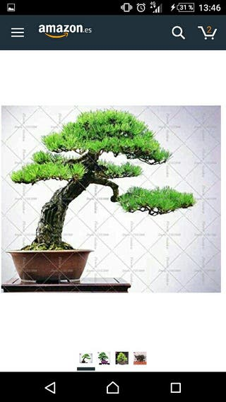 Semillas bonsai