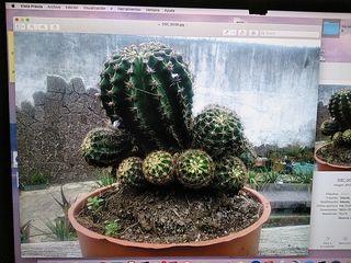 càctus
