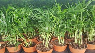 planta chamadorea