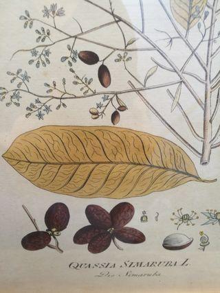 Dos láminas botánica pintados a mano