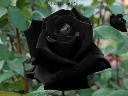 Semillas rosa negra