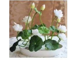 semillas:girasol limonero bonsai planta de agua...