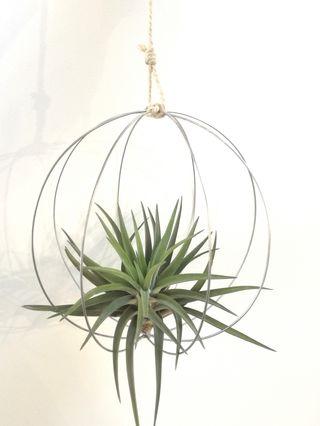 Planta de aire tropical en esfera de alambre