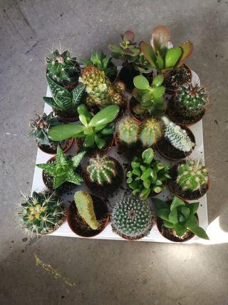 bandeja de 20 cactus