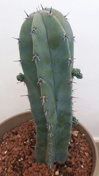 cactus. Myrtillocactus geometrizans