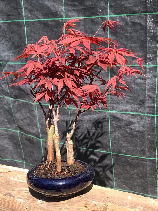 Bonsai Bosque Acer Palmatum Atropurpureum De Segunda Mano Por 55